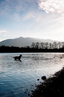 Een golden retriever in het water