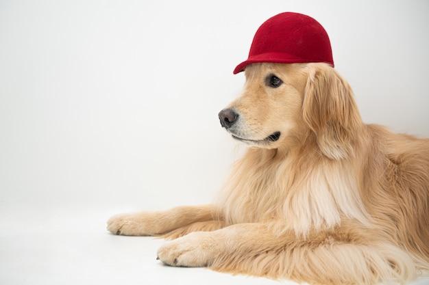 Een golden retrieverpuppy draagt een rode hoed tegen een witte achtergrond