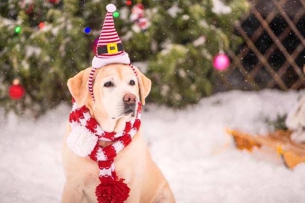 Een gouden labrador in een sjaal zit in de buurt van een versierde kerstboom en slee tijdens een sneeuwval in de winter op de binnenplaats van een woongebouw.