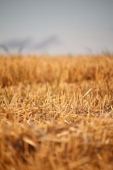 Een gouden stoppelveld van gemaaid tarweveld tegen een blauwe hemel, selectieve aandacht