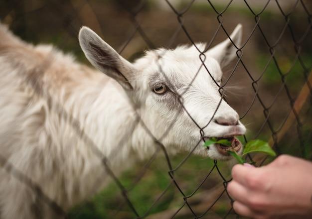 Een grappig portret van een geit die gras eet