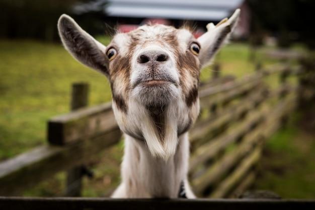 Een grappige geit die camera bekijkt