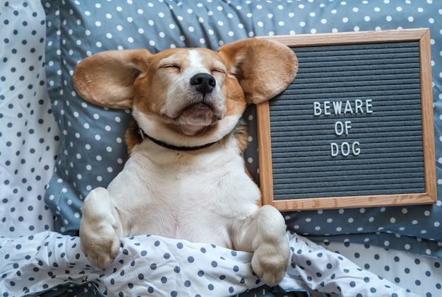 Een grappige hond van het beagle-ras slaapt op een kussen naast een vilten bord met de inscriptie: pas op voor de hond