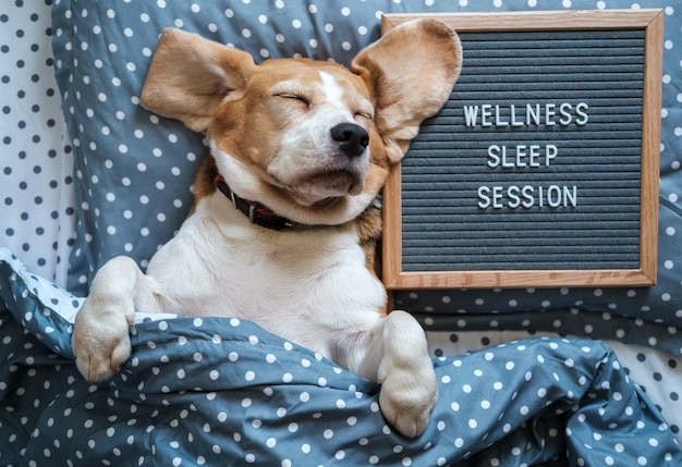 Een grappige hond van het beagle-ras slaapt op een kussen naast een vilten bord met de inscriptie: wellness slaapsessie
