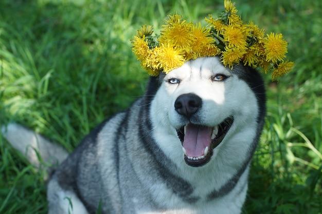 Een grappige husky hond zit in het gras met een krans van paardebloemen op zijn kop.