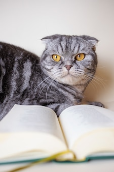 Een grappige schotse vouwenkat zit naast een open boek. het concept van het lezen van boeken over huisdieren. grijze kat in een zwarte strook met gele ogen.