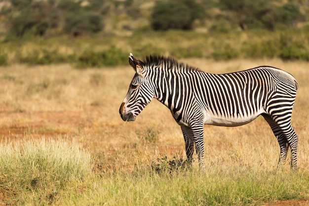 Een grevy zebra graast op het platteland van samburu in kenia