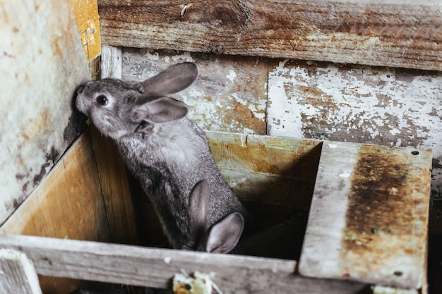 Een grijs jong konijn dat uit zijn huis probeert te komen. het fokken van konijnen. konijnen op de boerderij in een houten kooi. konijnenfokkerij. detailopname