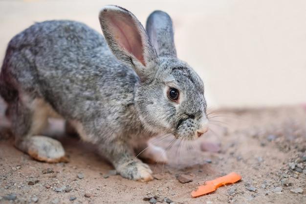 Een grijs konijn dat wortel van menselijke hand in de tuin eet.
