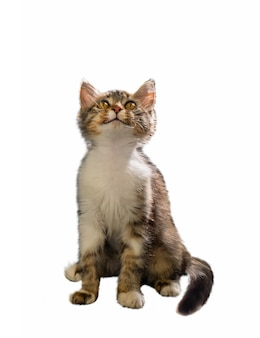 Een grijs pluizig katje zit en kijkt omhoog op een afgelegen witte achtergrond