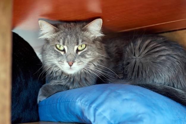 Een grijze kat die onder een tafel ligt
