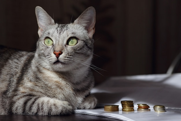 Een grijze kat die op een stapel munten let. concept afbeelding suggereert kijken of geld besparen. een rijke kat.