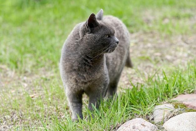 Een grijze kat loopt op groen gras op een zomerdag