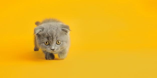 Een grijze kat met mooie ogen op een gele achtergrond