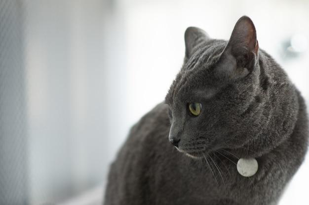 Een grijze kat staart naar iets op de zwarte tafel