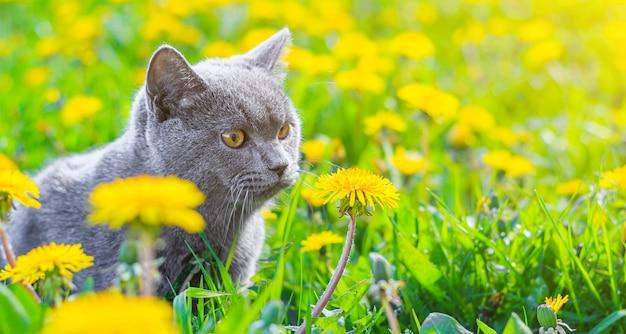 Een grijze kat zit in paardebloemen. kat in de bloemen. een prachtige foto op de omslag van een notitieboek, album, puzzel. heldere foto van een kat. kat van het britse ras. huisdier voor een wandeling.