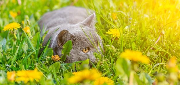 Een grijze kat zit in paardebloemen. kat in de bloemen. een prachtige foto op de omslag van een notitieboek, album, puzzel.