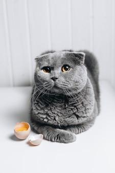 Een grijze kat zit met een schattige blik naast een gebroken ei