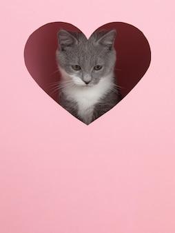 Een grijze kitten gluurt uit een hartvormig gat op roze