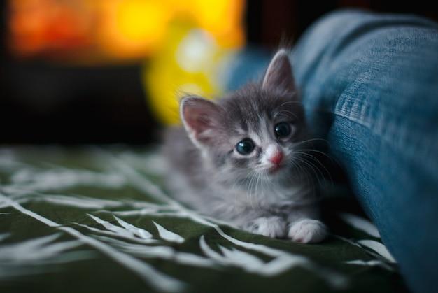 Een grijze kitten ligt op het bed, naast een been in spijkerbroek