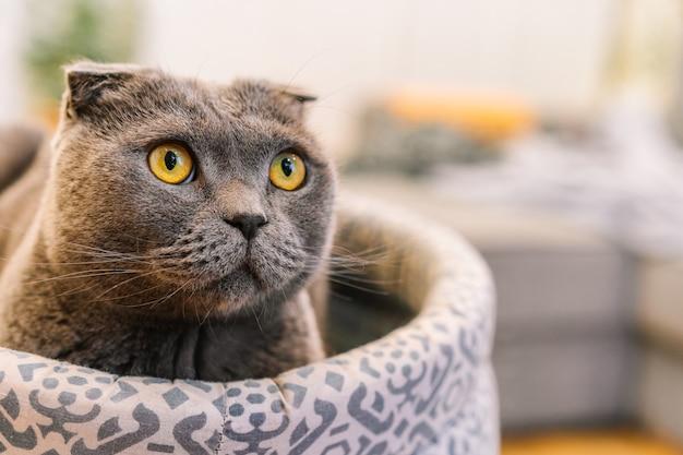 Een grijze scottish fold-kat met gele ogen zit in een zacht bed in een modern interieur