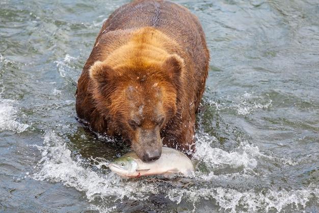 Een grizzlybeer die op zalm jaagt bij brooks falls. kust bruine grizzlys die bij katmai national park, alaska vissen. zomerseizoen. natuurlijk natuurthema.
