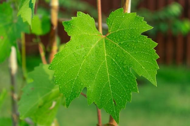 Een groen blad van druivenboom in de druppels water. tuinieren en planten concept