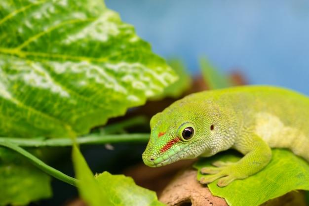 Een groene gekko (phelsuma grandis) let op de brief.
