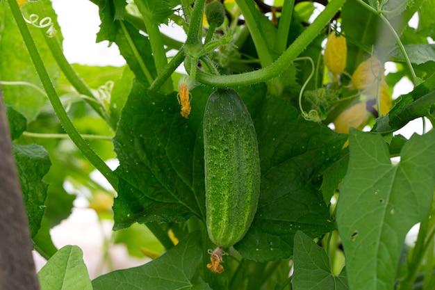 Een groene komkommer met bloemen die in een tuin of in een kas groeien. het concept van oogsten.