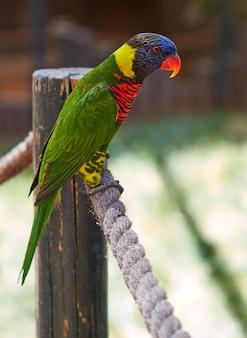 Een groene papegaai met een rode snavel zit aan een touw in een zoölogisch park