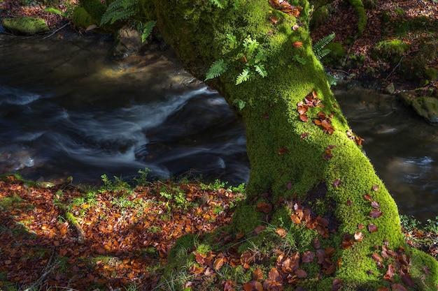 Een groene stam van een beukenboom in de herfst