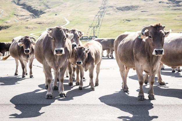 Een groep bruine koeien die een weg in de bergen kruisen