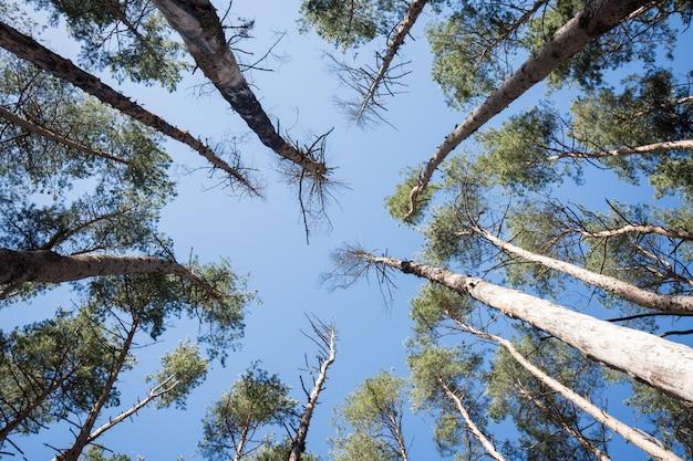 Een groep dode pijnbomen in het bos
