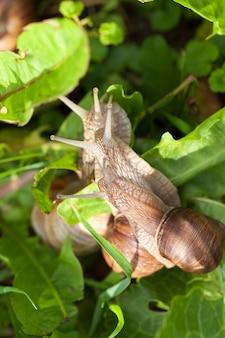 Een groep druivenslakken op het gras in natuurlijke habitats