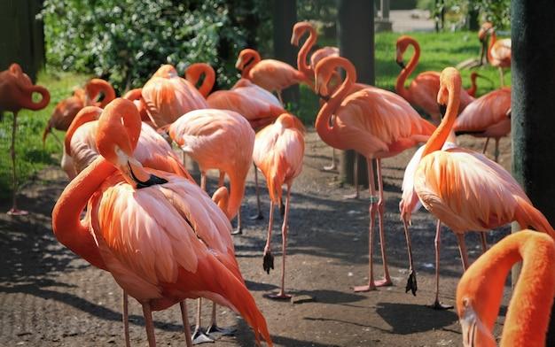 Een groep flamingo's zijn op zoek naar voedsel in de dierentuin van amsterdam