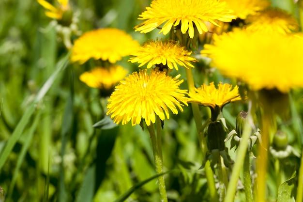 Een groep gele paardebloemen die in een open plek met greens groeien