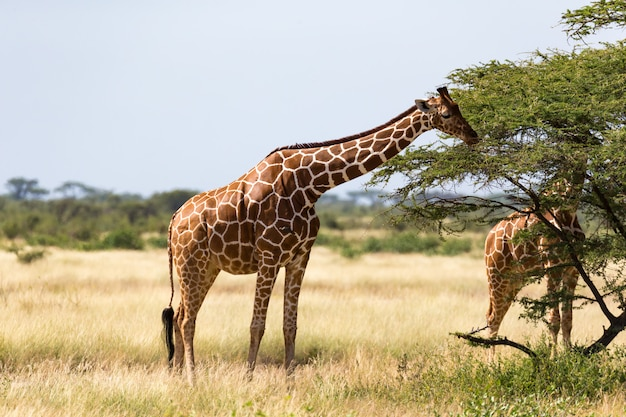 Een groep giraffen eet de bladeren van de acaciabomen