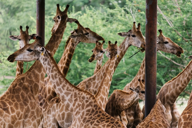 Een groep giraffen in een buitendierentuin
