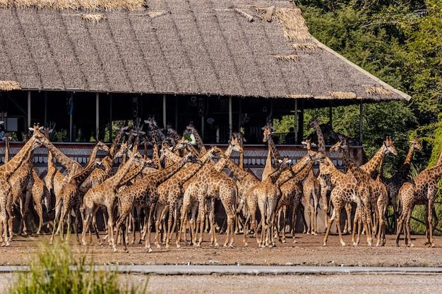 Een groep giraffen in een open dierentuin