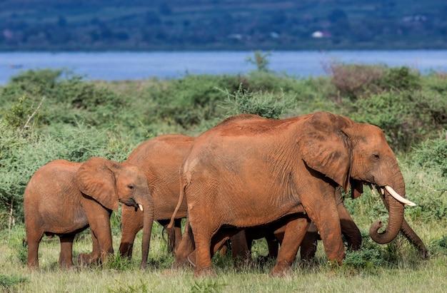 Een groep olifanten loopt langs het gras met vogels op hun rug in het merchinson falls national park