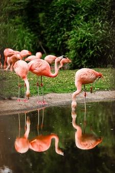 Een groep roze flamingo's die jagen in de vijver, groene oase in een stedelijke omgeving. flamingo's in de dierentuin
