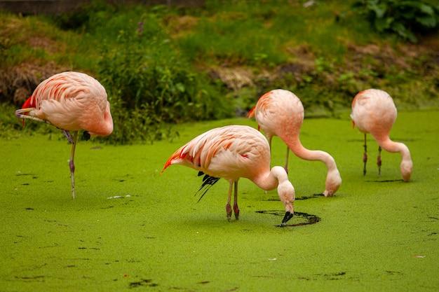 Een groep roze flamingo's in een vijver