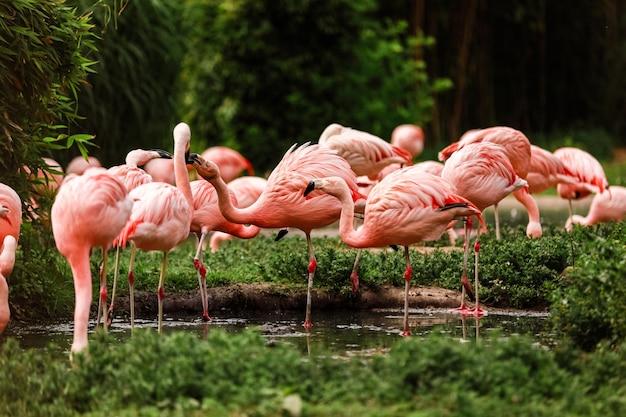 Een groep roze flamingo's jagen