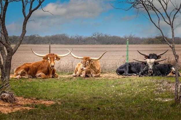Een groep texas longhorncattles die in het gras ontspannen