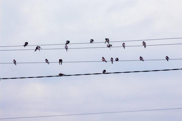 Een groep van zwaluwen op elektrische draden
