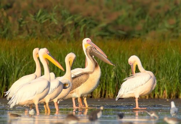 Een groep volwassen witte pelikanen en één jonge pelikaan rusten in het water.