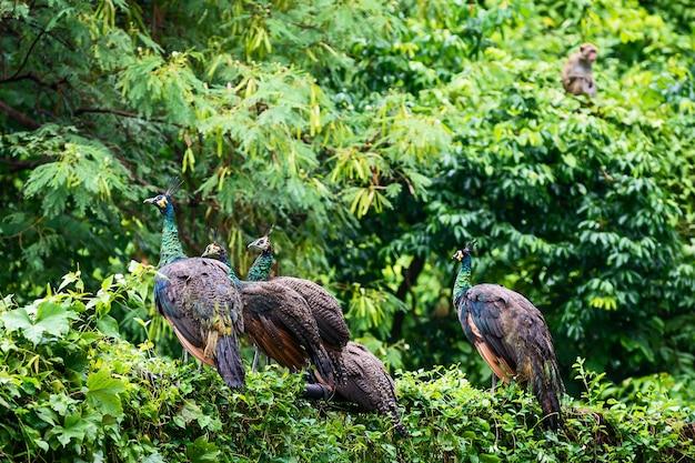 Een groep wilde pauwen zit na de regen op een metalen hek aan de rand van het bos.