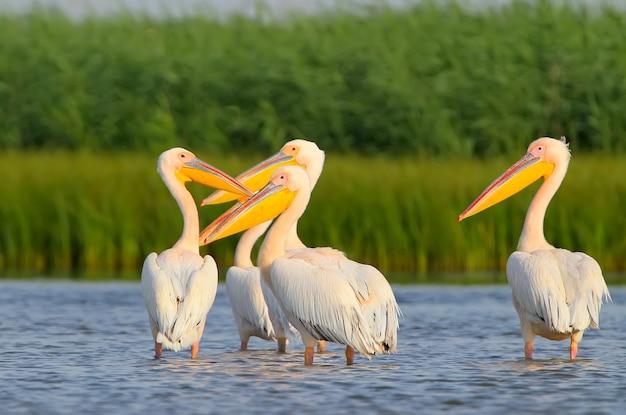 Een groep witte pelikanen staat in het blauwe water van de donau