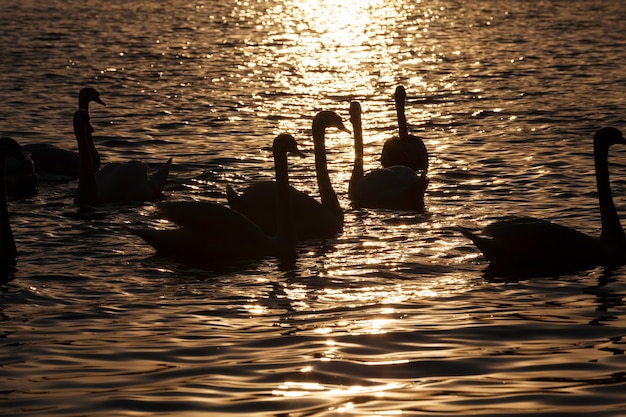 Een groep zwanen die bij zonsopgang in het gele gouden licht zwemmen, veel zwanen in het lenteseizoen op het meer of de rivier, lentetijd met een zwerm zwanen