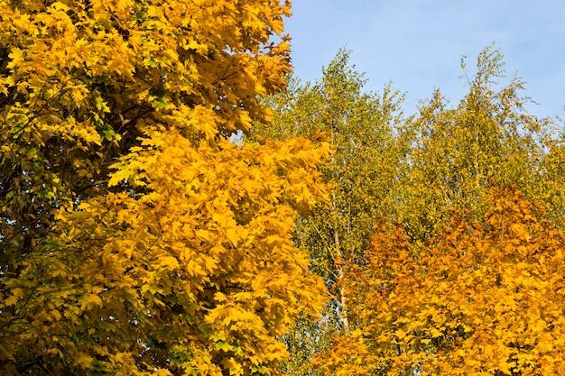 Een groot aantal gele bladeren aan de bomen in de herfst, overdag verlicht door zonlicht.